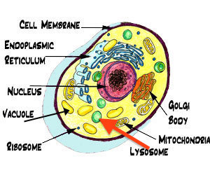 Lysosome ccuart Choice Image